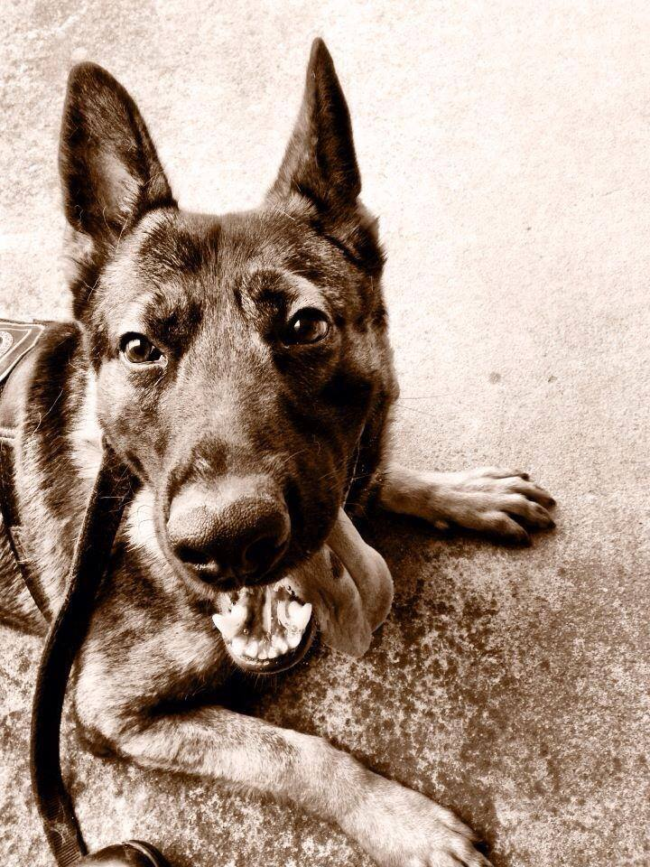 Photo of K-9 Officer Rocky